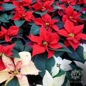 le Stelle di Natale hanno anche fiori bianchi e rosa.