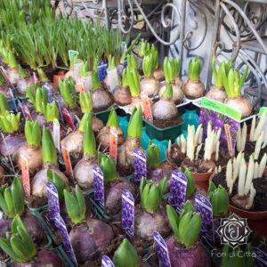 bulbi di primavera da piantare in giardino o vedere fiorire in vaso