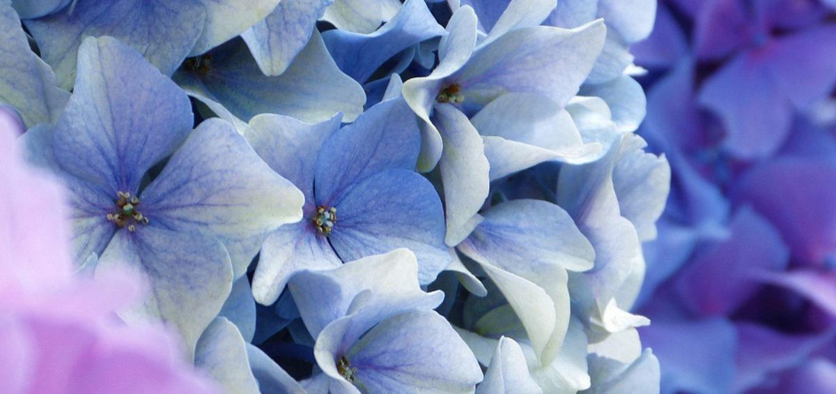 ortensie e ginestre sono fiori perfetti per il mese di luglio