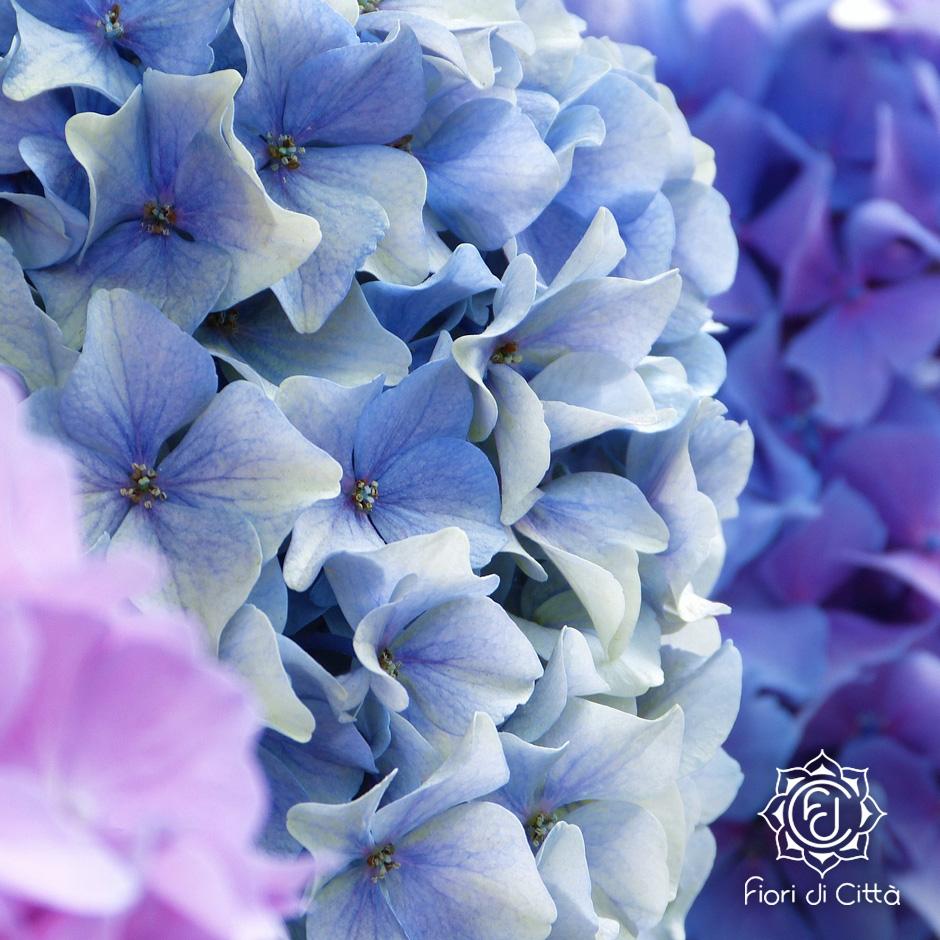 Il fiore di ortensia si presenta in tante sfumature.